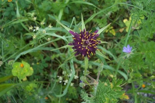 Oyster Plant or Common Salsify