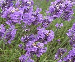 Lavender – Medicinal Uses