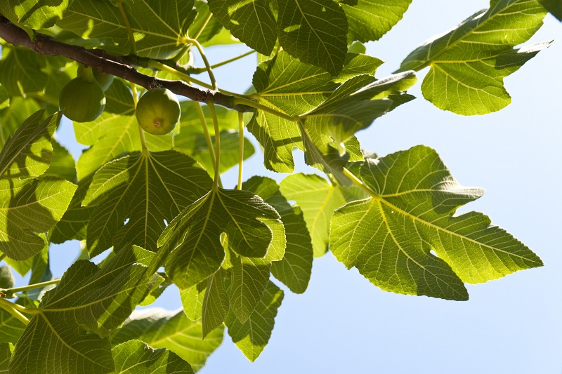 Anjeer Tree Leaves and Fruits