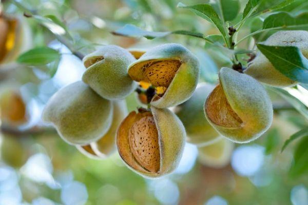 Almonds on Almond Tree