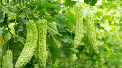 Photo of Bitter Melon – Health Benefits & Side effects