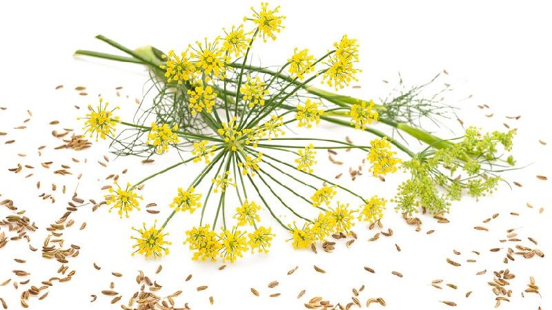 Fresh Fennel Flowers and Seeds
