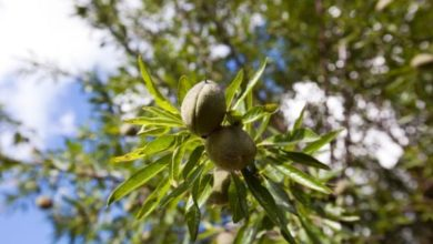 Photo of Almond Tree
