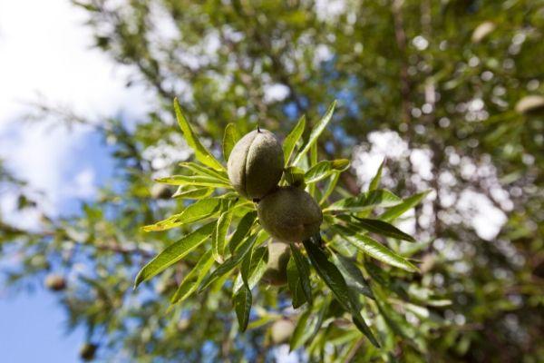 Raw Almonds on Almond Tree