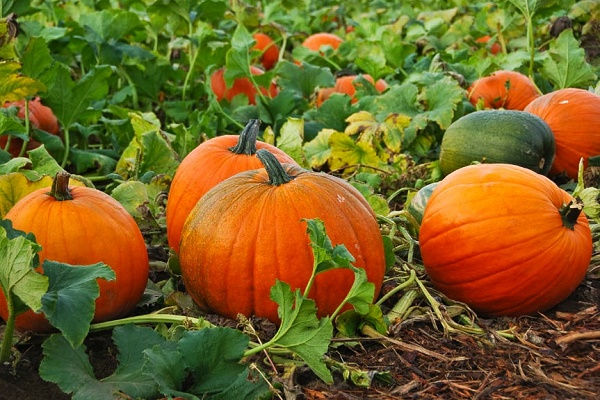 Photo of Health Benefits of Pumpkin & Its juice