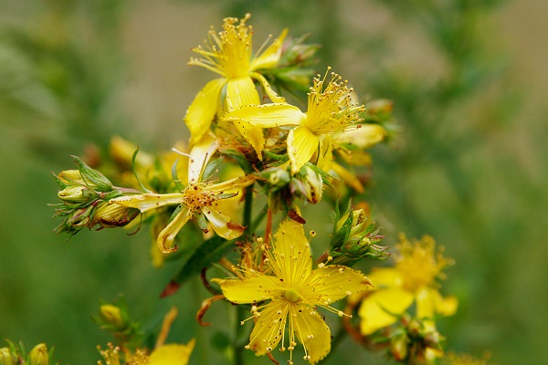 Photo of St. John's Wort can cause Side Effects with Prescription Drugs