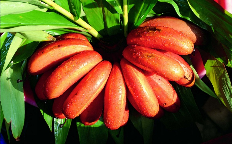 Photo of Red Banana Benefits
