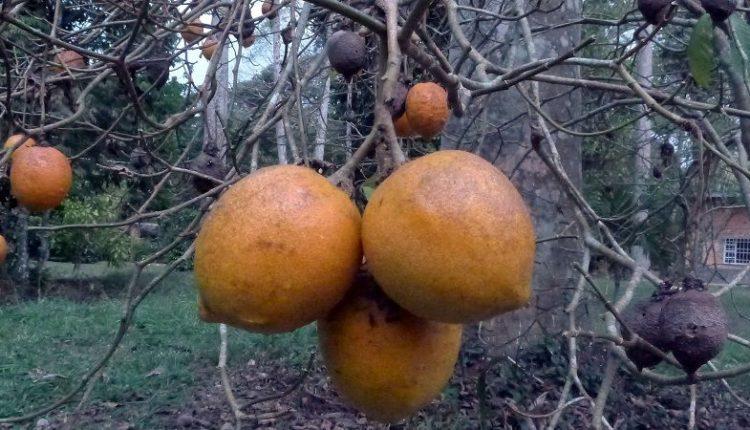 Tabernanthe Iboga Fruits