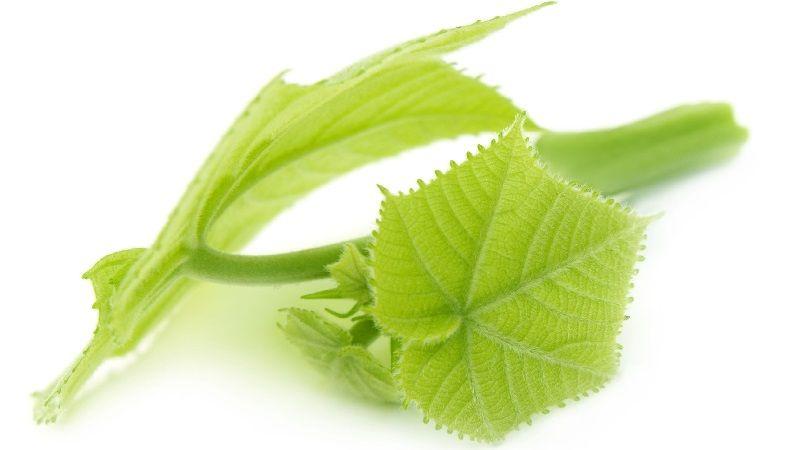 Abroma Augusta - Ulat Kambal - Devil's Cotton Leaf