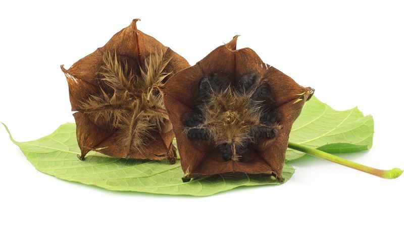 Photo of Abroma Augusta (Ulat Kambal/Devil's Cotton)