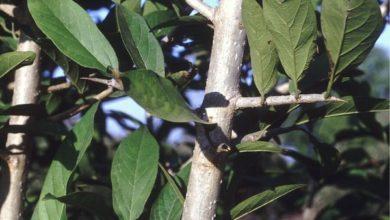 Photo of Alangium Salvifolium (Ankol)