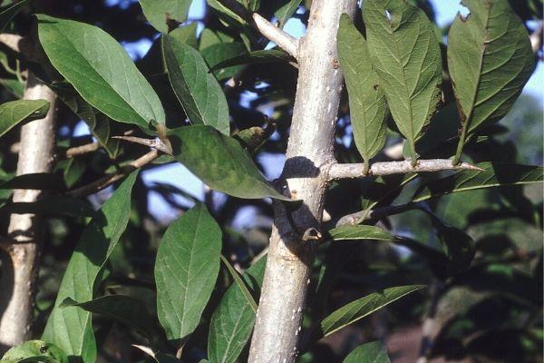 Alangium Salvifolium (Ankol plant)