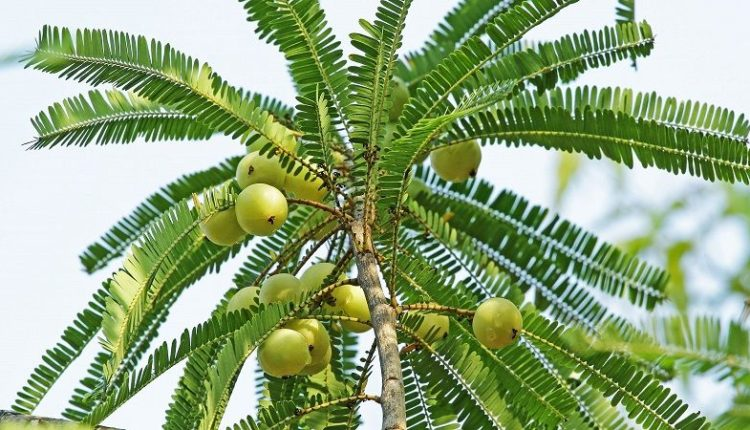Amla Plant with Fruits and Leaves