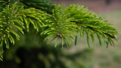 Photo of Abies Webbiana (Talispatra)