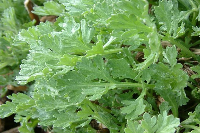 Photo of Artemisia Absinthium (Wormwood)