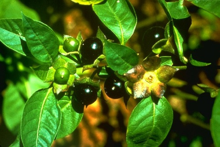 Photo of Atropa Belladonna (Deadly Nightshade)