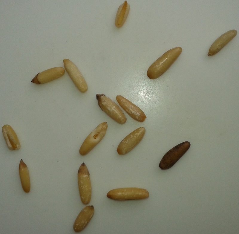 Photo of Chilgoza (Neoza) Pine Nuts (Pinus Gerardiana)
