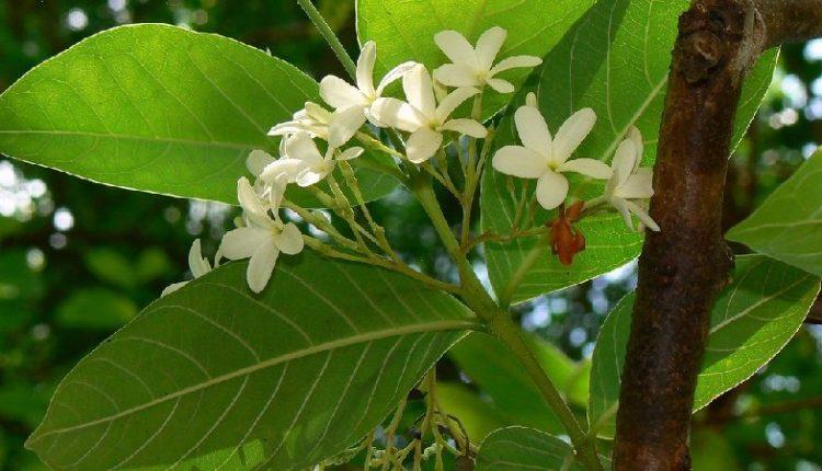 Holarrhena Antidysenterica (Pubescens) - Kutaj