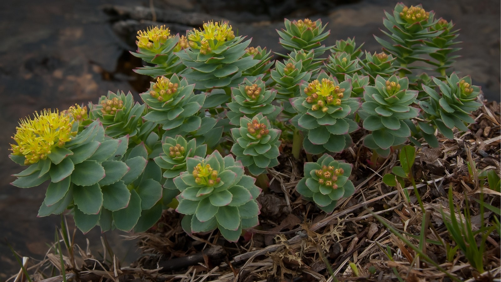 Rhodiola Rosea Benefits Uses Dosage Side Effects