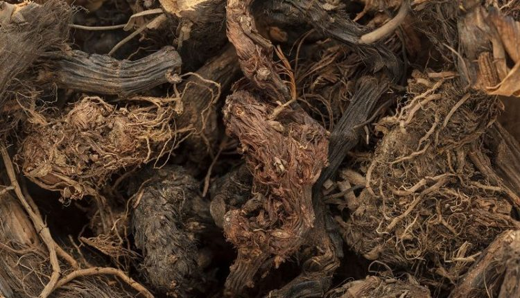 Spikenard Roots – Nardostachys Jatamansi