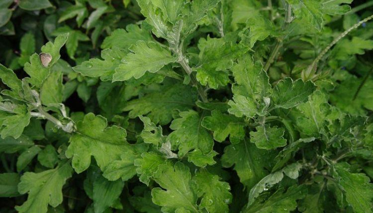 Wormwood – Artemisia Annua