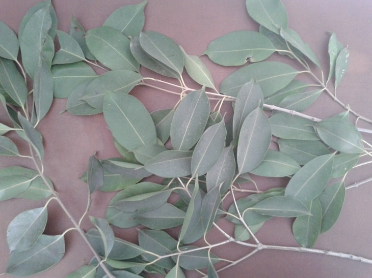 Jamun Tree Leaves
