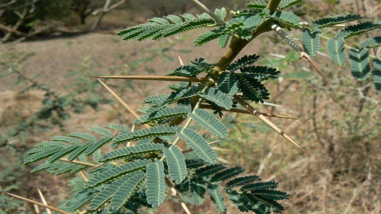 Acacia Nilotica (Acacia Arabica, Vachellia Nilotica) Gum Arabic Tree (Babul, Kikar)