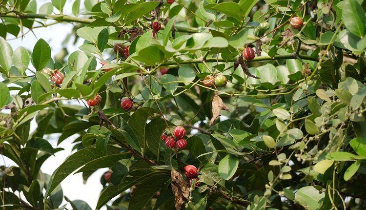 Shivlingi Climbed on A Tree