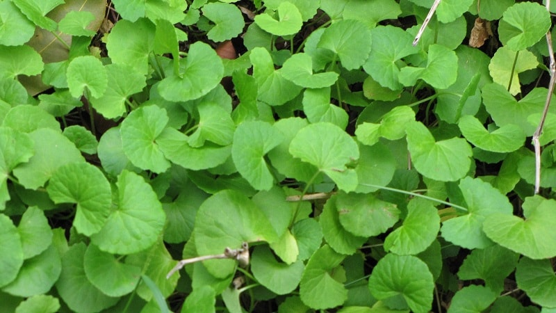 Photo of Gotu Kola (Centella Asiatica) – Mandukaparni