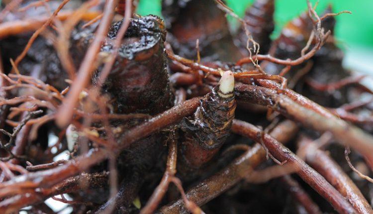 Black Cohosh (Cimicifuga Racemosa) Roots - After Washing