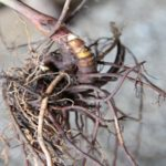 Black Cohosh Rhizome