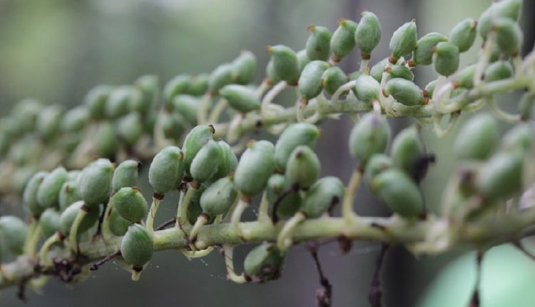 Black Cohosh Seeds