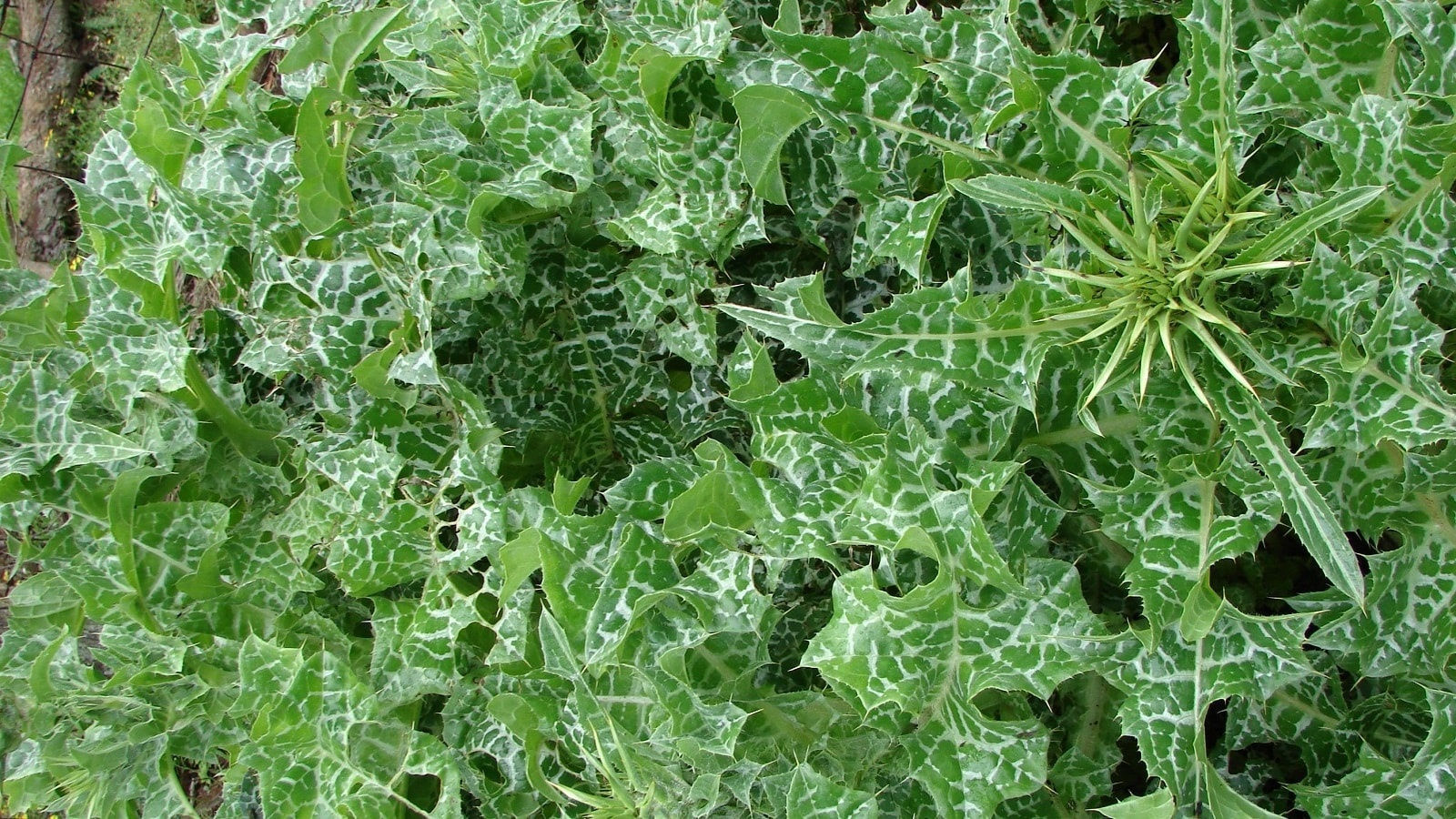 Photo of Milk Thistle (Silybum Marianum)