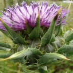 Silybum Marianum Flower