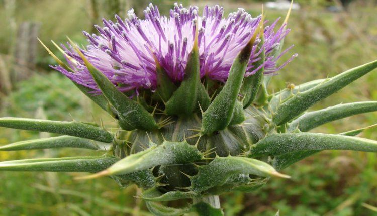 Silybum Marianum Flower