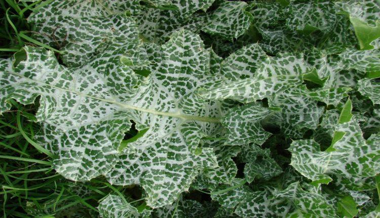 Silybum Marianum Leaves