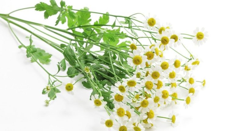 Feverfew Leaves and Flowers