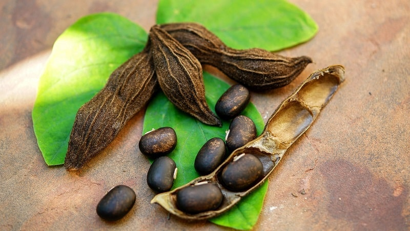 Mucuna Pruriens (Velvet Bean) with Leaf, Seed Pods and Seeds