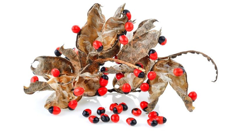 Rosary Pea Abrus Precatorius Uses Benefits Dosage Side Effects