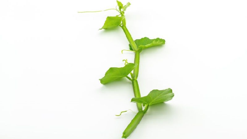 Photo of Cissus Quadrangularis (Hadjod)