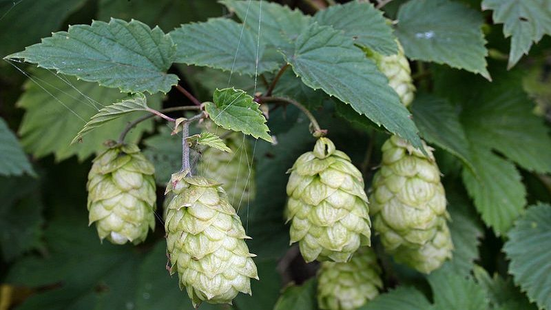 Photo of Humulus Lupulus (Common Hop)