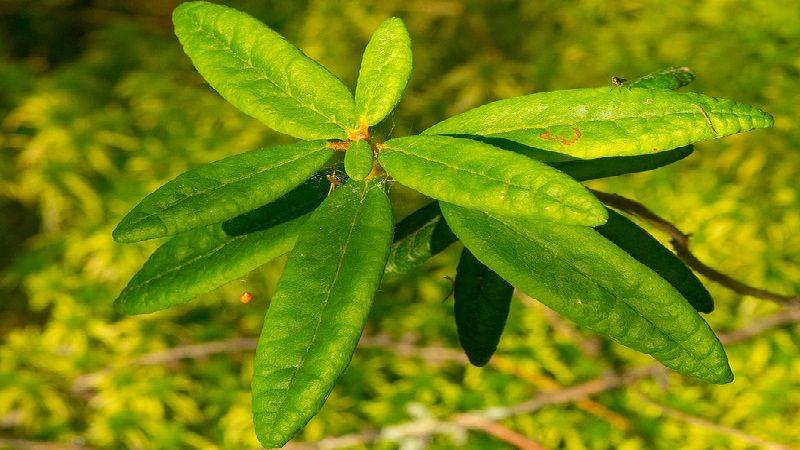 Labrador Tea Leaves