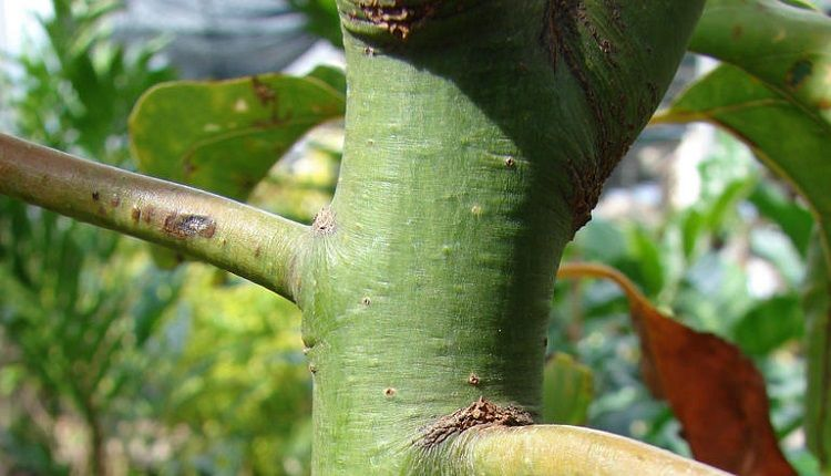 Camphor Tree Stem - Camphor Essential Oil is extracted from stem bark