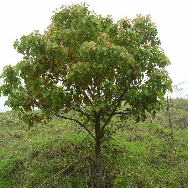 Cinnamomum Camphora Plant (Camphor Tree)