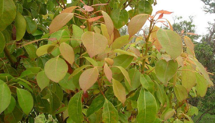Cinnamomum Camphora Leaves