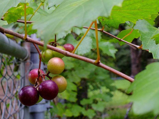 Muscadine Grapes Vine