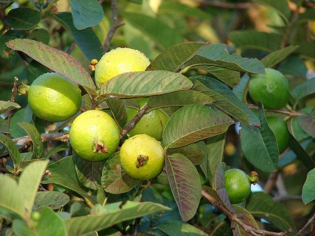 Psidium Guajava Fruits