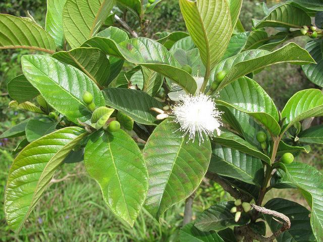 Psidium Guajava Leaves and Flower