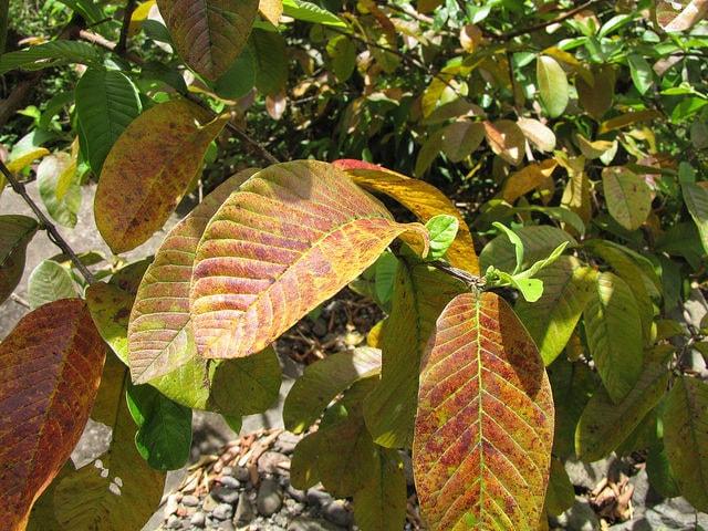 Psidium Guajava Leaves