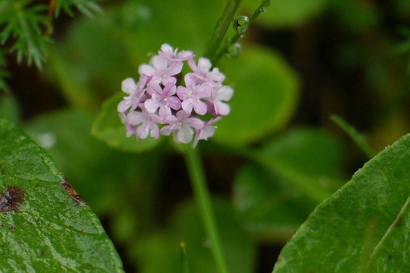 Valeriana Flower